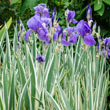 Silver Variegated Iris