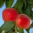 Babcock White Peach