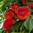 Galaxy Peach