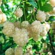 Polar Berry™ Plant