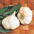 Transylvanian Softneck Garlic