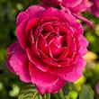 Pretty Lady Rose™ Hybrid Tea Rose