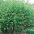 Hardy Evergreen Bamboo