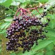 Wyldewood Elderberry Plant