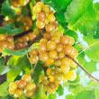 Oh My!<sup>®</sup> Seedless Grape Vine
