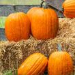 Early Prince Hybrid Pumpkin Seed