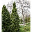 Pyramidal Arborvitae Hedge