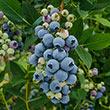 Misty Southern Highbush Blueberry