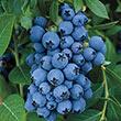 Jewel Southern Highbush Blueberry