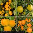 Apricot Fruit Tree Assortment