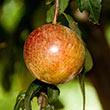 Dapple Dandy Plumcot Tree