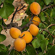 Golden Amber Apricot Tree