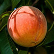 Santa Barbara Peach Tree