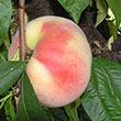 Snow White Peach Tree