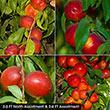 Nectarine Fruit Tree Assortment