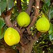 Hood Pear Tree