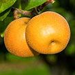 Hosui Asian Pear Tree