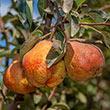 Max Red Bartlett Pear Tree