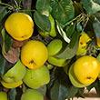 Monterrey Pear Tree