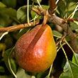 Sugar Pear Tree