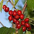 Bada Bing Cherry