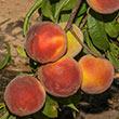Crimson Rocket Peach Tree
