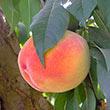 Gleason Elberta Peach Tree