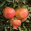 Ambrosia Pomegranate