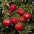 Early Wonderful Pomegranate
