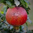 Eversweet Pomegranate