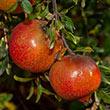 Utah Sweet Pomegranate