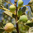 Ghost Hill™ White Texas Everbearing Fig
