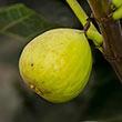 White Kadota Fig