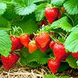 Sweet Sensation<sup>®</sup> Strawberry