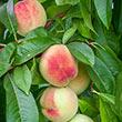 Polly Peach