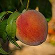Tropi Berta Peach