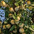 Flavor Queen Plumcot Tree