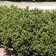 Globe Brown Yew Hedge