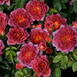 Midnight Fire<sup>™</sup> Miniature Rose