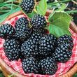 Arapaho Thornless Blackberry Plant