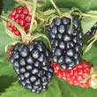 Apache Thornless Blackberry Plant