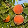 Long Beach Peach Tree