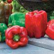 Gurney's<sup>®</sup> Giant II Hybrid Sweet Pepper