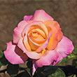 Chicago Peace Hybrid Tea Rose