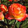 Perfect Moment Hybrid Tea Rose