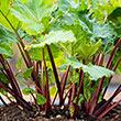 Superior Genetics Seed Line Red Rhubarb
