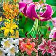 All Summer Lilies