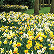 Fragrant Daffodil Collection