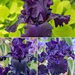 Nearly Black Iris Collection