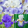 Blue Heaven Iris Collection